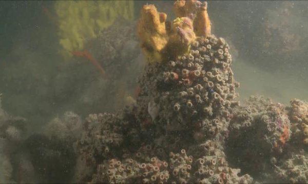 A Monopoli una barriera corallina unica nel Mediterraneo